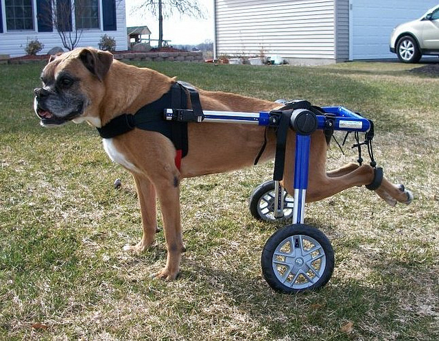 dog-wheelchair.jpg