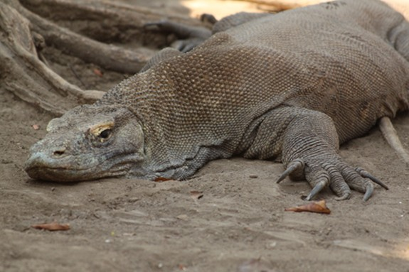The Most Infamous Komodo Dragon Attacks Of The Past 10 Years Science Smithsonian Magazine