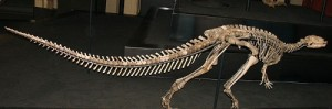 The skeleton of Dryosaurus. From Wikipedia.