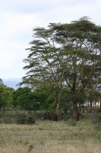 An elephant in an acacia grove (courtesy of flickr user April Rinne)