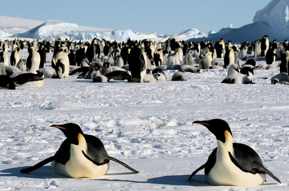 Two emperor penguins and their colony.
