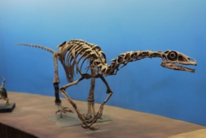 Falcarius, on display at the Utah Museum of Natural History.