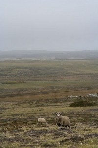 Falkland sheep have no need to worry about wolves these days (courtesy of flickr user ShimShamB)