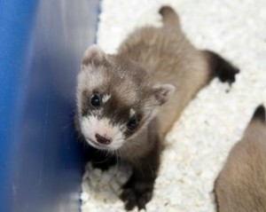 A ferret baby. Photo credited to Megan Murphy at the National Zoo.