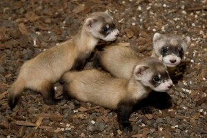 Four new black-footed ferret kits. Photo credited to Mehgan Murphy, Smithsonian's National Zoo.
