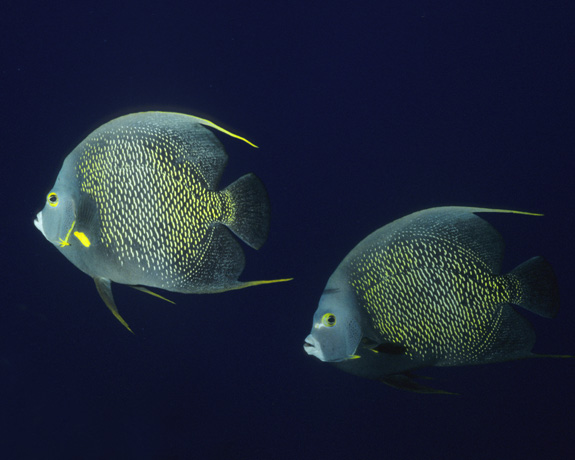 Pair of French angelfish