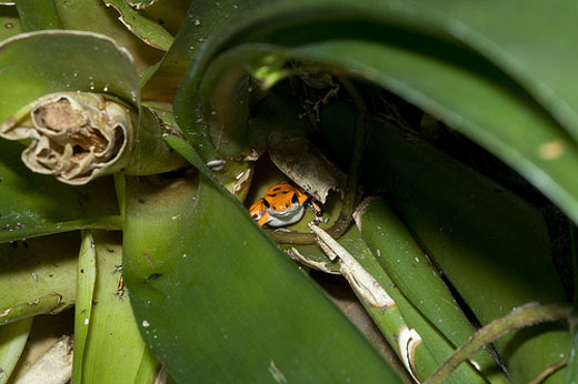 A strawberry dart frog hides in a bromeliad leaf at the National Zoo. The female frogs carry their tadpoles to safety atop the leaves until they grow into frogs.