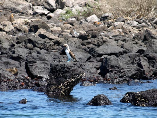 The Galapagos Islands' Blue-Footed Booby
