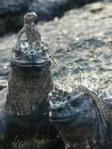 Lava lizard and marine iguanas, Galapagos (courtesy of flickr user ARKNTINA)