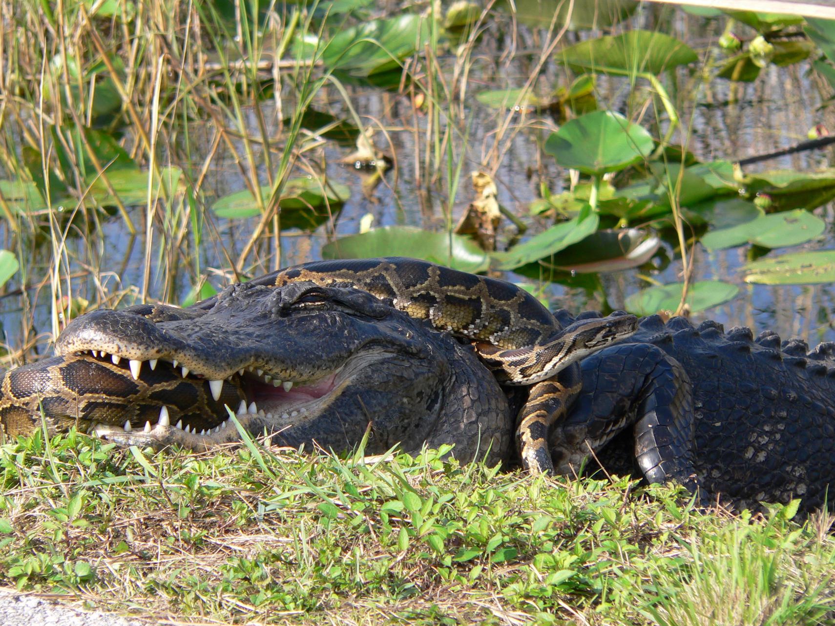 gator_python.jpg