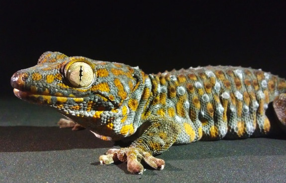 Why Geckos Dont Slip Off Wet Jungle Leaves Or Hotel Ceilings