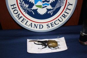 One of the giant beetles discovered and seized by the U.S. Postal Service. (Courtesy of U.S. Department of Homeland Security.)