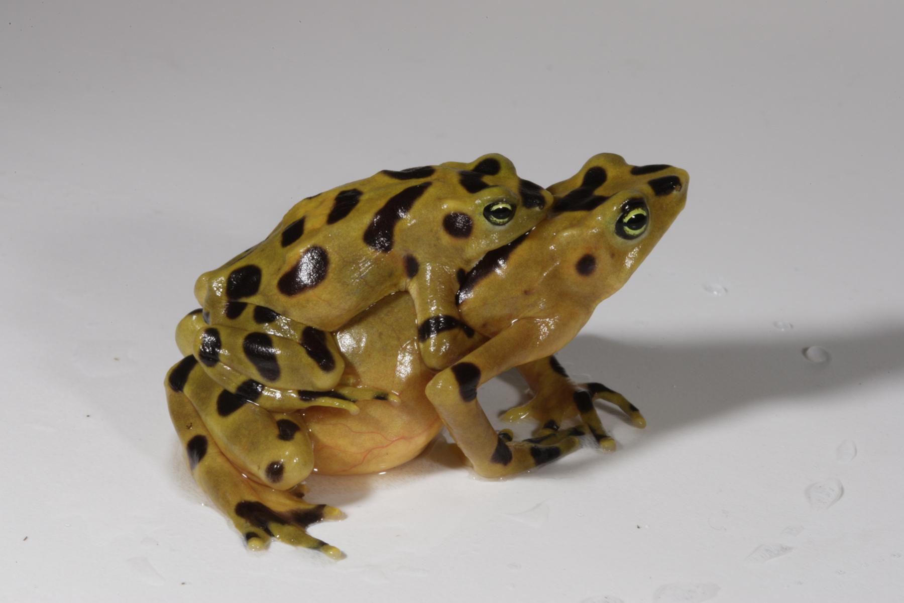 golden-frogs.jpg