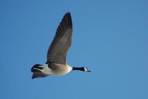 A Canada goose over Minnesota (courtesy of flickr user dobak)