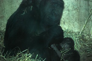 Baby gorilla with mother Mandara. Courtesy of Pepper Watkins/Smithsonian's National Zoo.