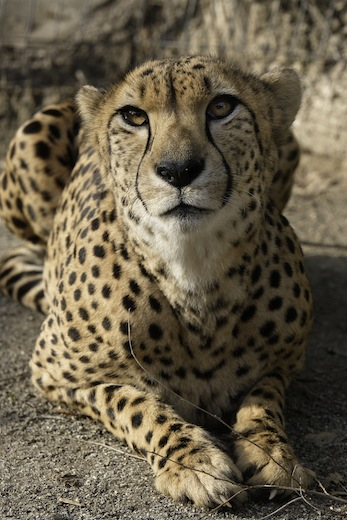 Granger, one of the three 5-and-a-half year-old male cheetahs that returned to the National Zoo this weekend. Photo by Mehgan Murphy, courtesy of the National Zoo.