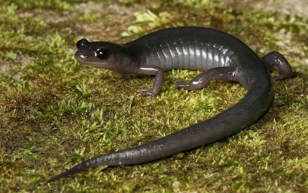 U.S. Restricts Movement of Salamanders, for Their Own Good - The ...