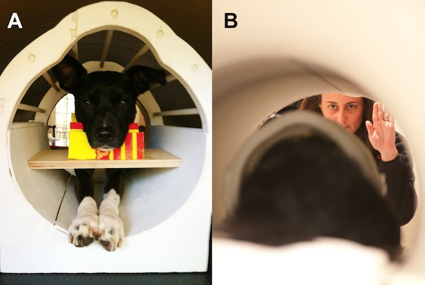 A dog in an fMRI, receiving one of the hand signals
