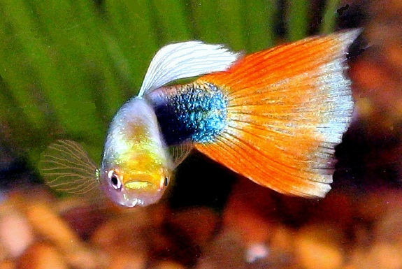 why guppies seem to have a death wish smart news smithsonian
