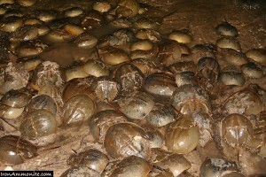 Horseshoe crabs gather each May in the Delaware Bay (courtesy of flickr user Paul Williams (Iron Ammonite))