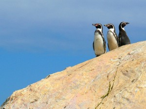 Humboldt penguins in Chile (courtesy of flickr user Andrea Baldassarri)