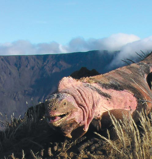 Pink iguana, courtesy of Gabriele Gentile