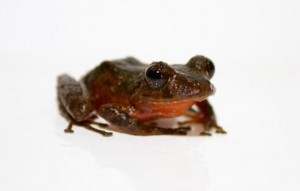 This rain frog, from the genus Pristimantis, has a distinctive red stomach that suggests it is likely a new species. Photo courtesy of Brian Gratwicke, Smithsonian Conservation Biology Institute.