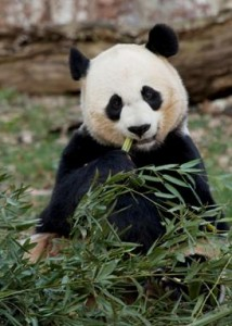 Pregnancy watch begins today. Is Mei Xiang, the Zoo's female panda pregnant? Photograph by Mehgan Murphy