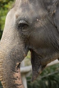 Zoo staff has attempted to artificially inseminate their 34-year-old elephant Shanthi with sperm from elephants at the Fort Worth and Tulsa zoos. Photo by Mehgan Murphy, National Zoo.