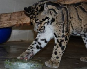 The Zoo's clouded leopards, Ta Moon and Sa Ming, are one year old today. Photos by Chris Crowe