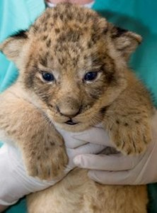 A zoo veterinarian holds one of the National Zoo's four new lion cubs. Photo by Mehgan Murphy, Smithsonian's National Zoo.