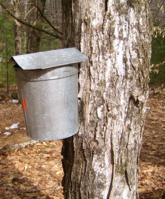 A typical maple sap collecting bucket, at Up Yonda Farm. Photograph by Lisa Bramen