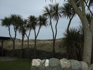 Cabbage palms have become a common sight in some parts of Ireland (courtesy of flickr user EadaoinFlynn)