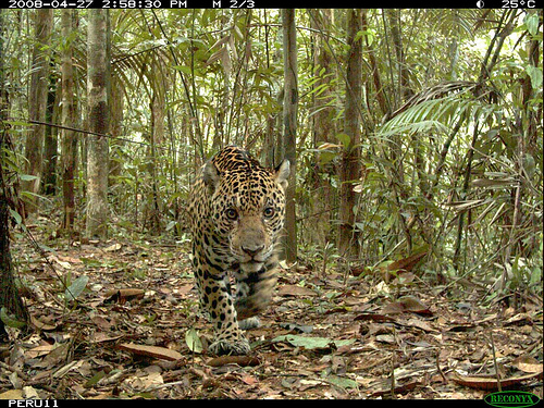 "An adult male jaguar ""stalks"" the camera. He was photographed nine times at four different cameras. (Courtesy of the National Zoo.)"