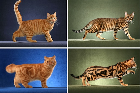 Same Gene Guides Cheetah and Tabby Cat Coat Patterns ...