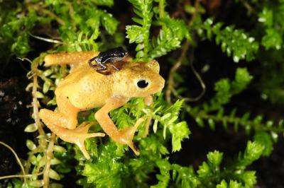 A newborn Kihansi spray toad sits on the back of a female (Credit: Julie Larsen Maher/Wildlife Conservation Society)