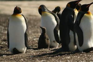 King penguins (courtesy of flickr user chrispearson72)