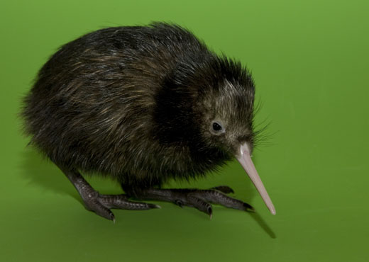 The National Zoo's baby kiwi, born in March, was just named Hiri (yes, it rhymes). Photo by Mehgan Murphy.