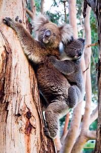 Kangaroo Island koalas (courtesy of Flickr user `◄ccdoh1►)