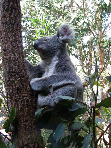 A koala at Sydney Wildlife World (photo by Sarah Zielinski)