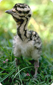 The National Zoo has bred almost 50 kori bustard chicks. Photo by Jessie Cohen, Smithsonian's National Zoo.