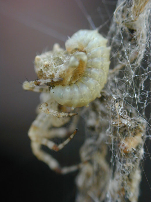 A spider shown with a maturing larva attached to his abdomen. (Picture Courtesy of William Eberhard)
