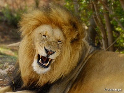 Lion in South Africa, courtesy of Flickr user Martin Heigan.