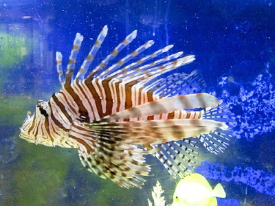 Lionfish, courtesy of Flickr user ah zut