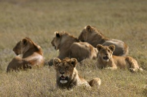 Serengeti lions (courtesy of flickr user Andries3)