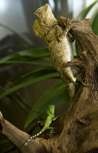 Four chameleon forest dragons were born at the National Zoo on Nov. 11. They are the first of their kind to be born at the zoo. Photo by Mehgan Murphy.