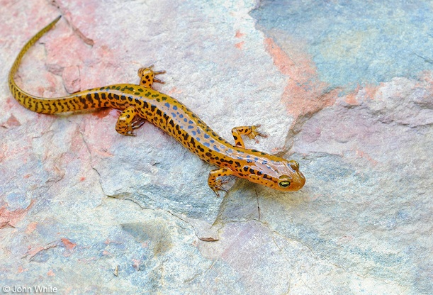 the surprisingly colorful salamanders of appalachia at the