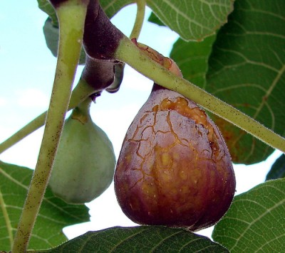 Figs on tree, Courtesy Flickr user Martin LaBar