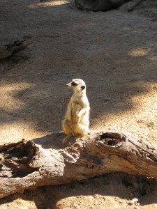 A meerkat at Taronga Zoo, Sydney