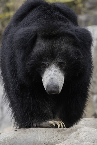 Merlin, the National Zoo's 27-year-old sloth bear, died this morning. Photo courtesy of the Zoo.